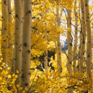 """Aspens"" by Patrick Toalson Limited Edition Canvas"